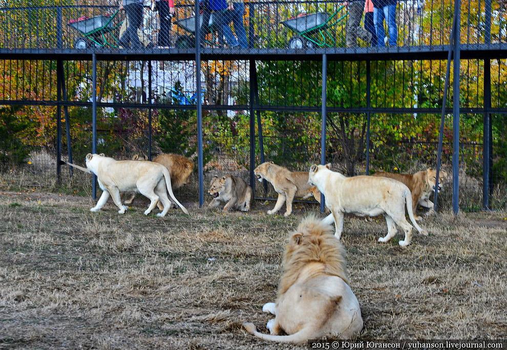 Олег зовёт пообщаться со львами. Я — первый! Впервые глажу такую большую кошку.