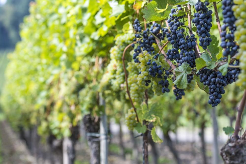 Людовик XIX говорил отокайском вине: «Король вин, вино королей». Гора Токай, находящаяся всеверной