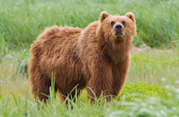 13. 13 место – Кадьяк, PSI: 930 Кадьяк – самый крупный подвид бурого медведя и один из самых крупных