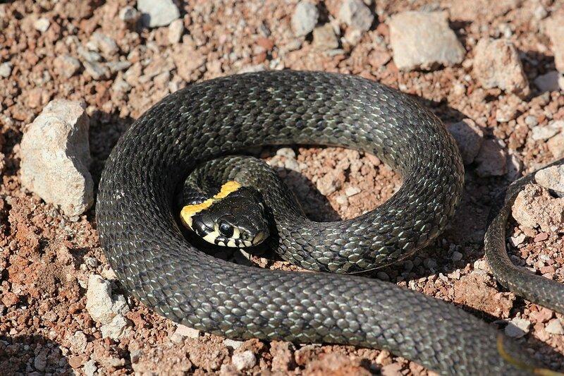 Уж обыкновенный (Natrix natrix) в позе атаки - змея тёмно-серого цвета с чёрным узором и жёлтыми «ушами» - яркими пятнами в задней части головы