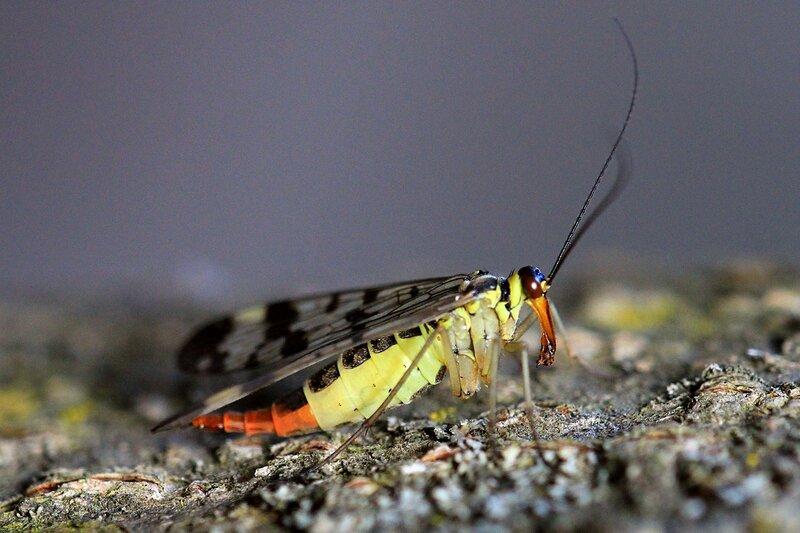 Самка скорпионницы обыкновенной (Panorpa communis) в профиль - желтое с чёрным узором насекомое с четырьмя узорчатыми крыльями, длинными усами и удлинённой головой (рострум) а также скорпионьим хвостом