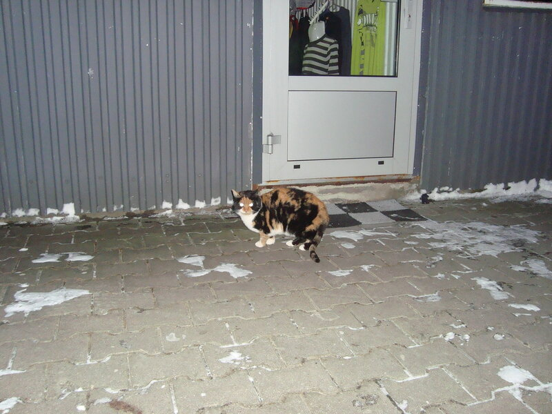 Polski kot domowy (Подляшье, зима 2014)