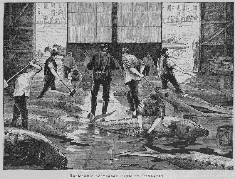 1885осётр в гамбурге-2 34т -479 стр..jpg