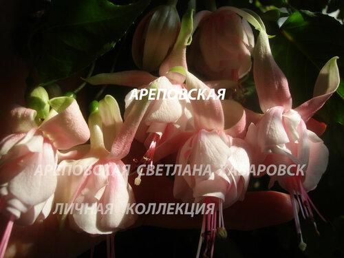 НОВИНКИ ФУКСИЙ. - Страница 5 0_151e24_c5a39b4e_L