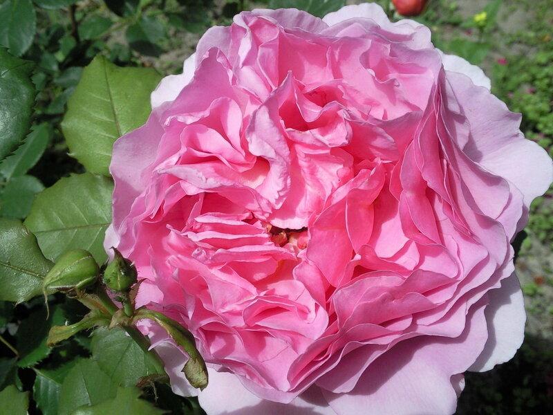 Princess Alexandra of KentAustin Великобритания, 2007 Розы, которые мне хочется!