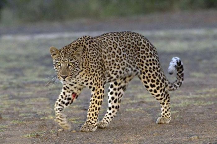 Леопард и дикобраз: отчаянная охота за колючим обедом