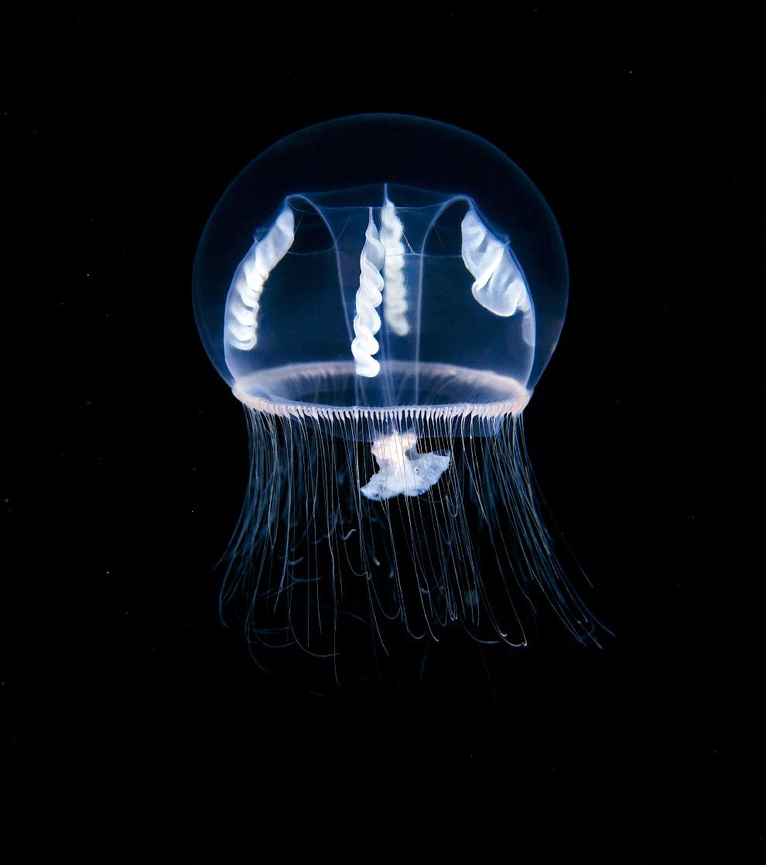 5. Большинство гидроидных являются хищниками, использующими особенности своего образа жизни для