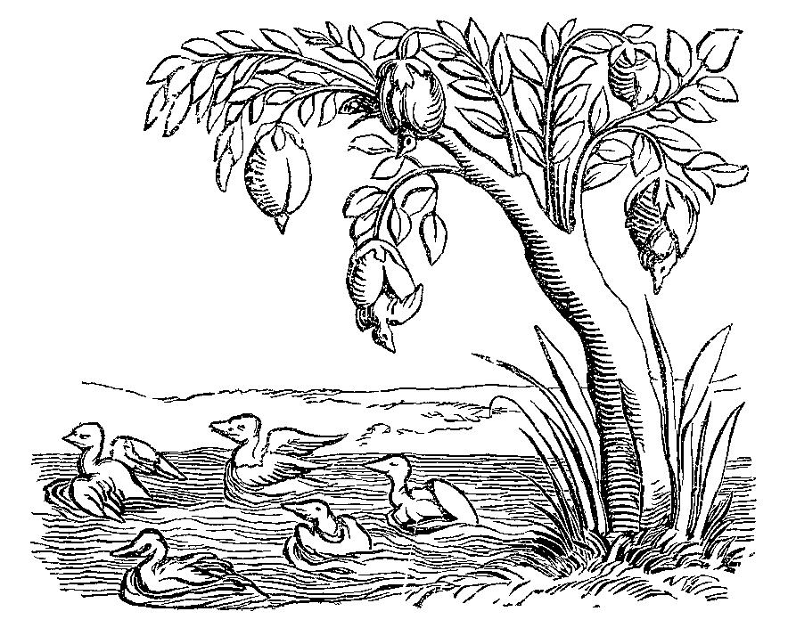 С 1552 Космографии от Себастьяна Мюнстера с гусиными ракушками готовы превратиться в казарок.png