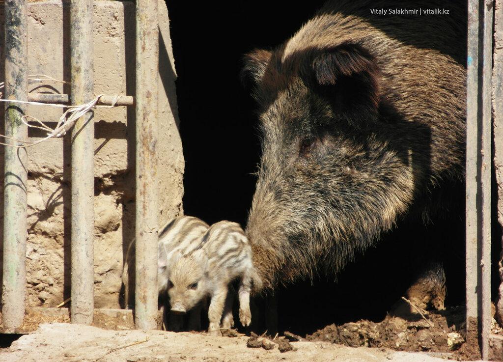 Поросята в зоопарке Шымкента