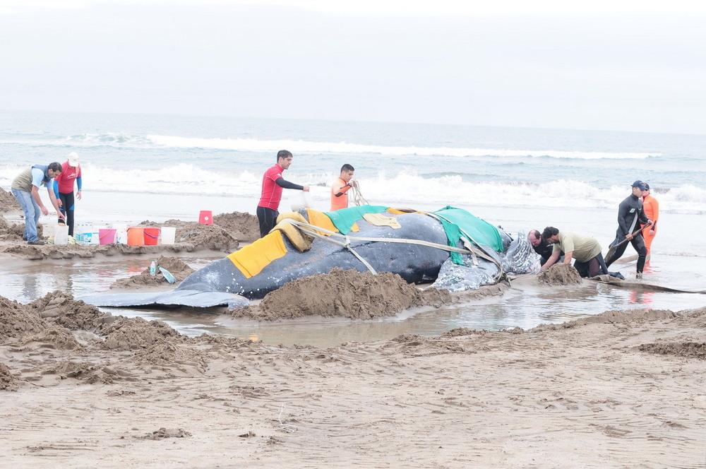 Спасение кита в Аргентине чтобы, около, Аргентины, заболевания, какиенибудь, определить, анализ, кровь, взяли, этого, Большого, Спасатели, берегу, подплывают, Больные, здоровьем, проблем, дезориентации, умереть, надеялись