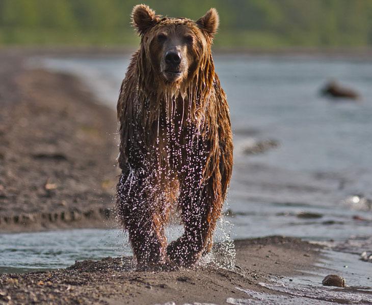 Как медведи ловят рыбу (19 фото)