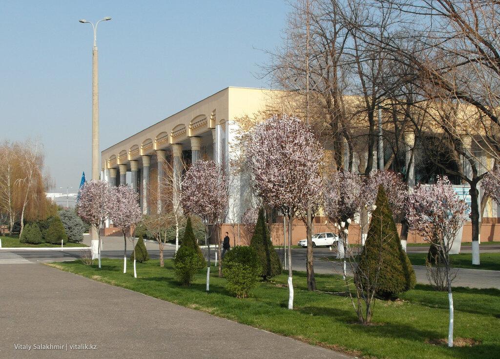 Цветущие деревья в центре Ташкента, Узбекистан 2018