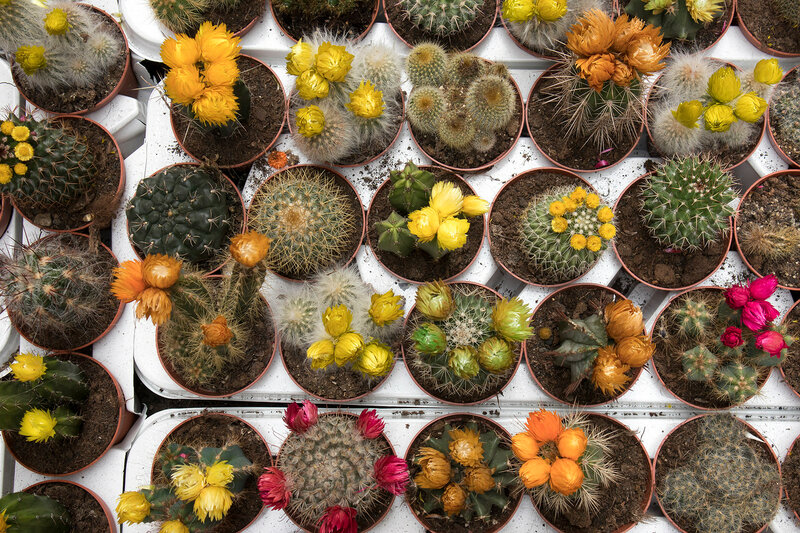 Blooming cactus on sale in the shop