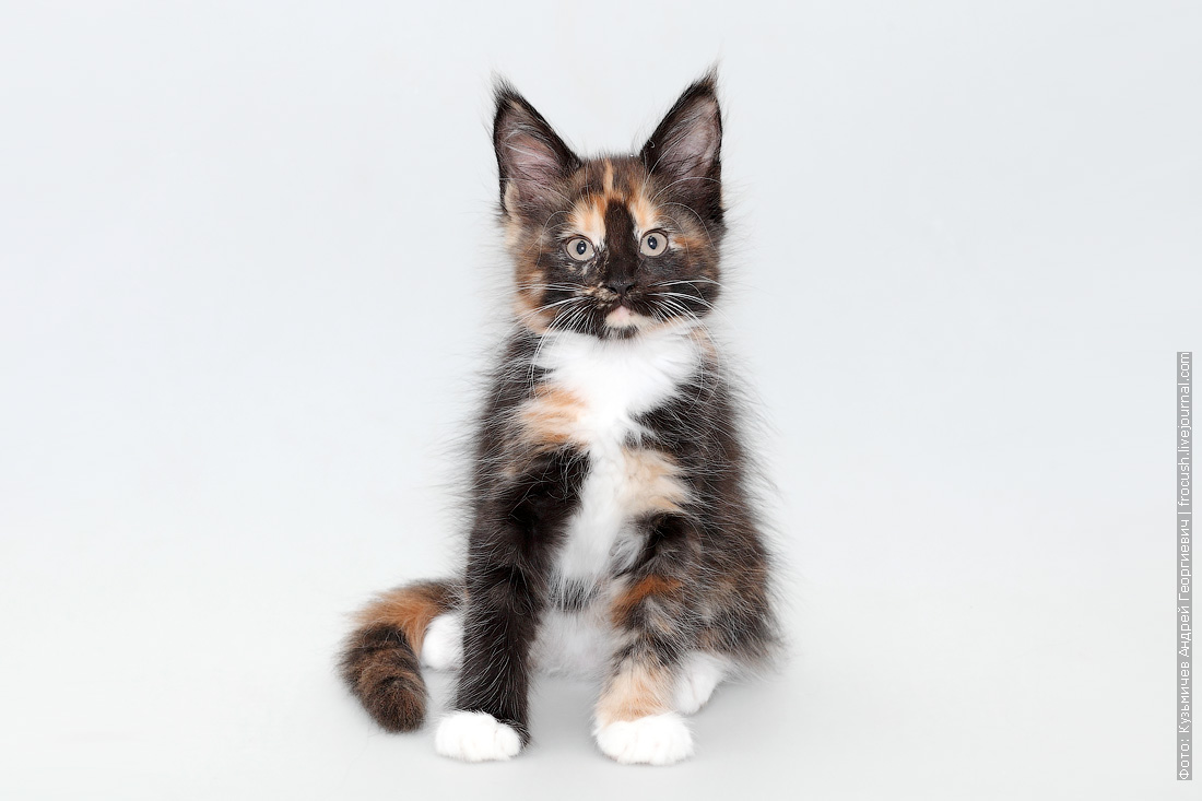 кошка мейн-кун питомник в Москве