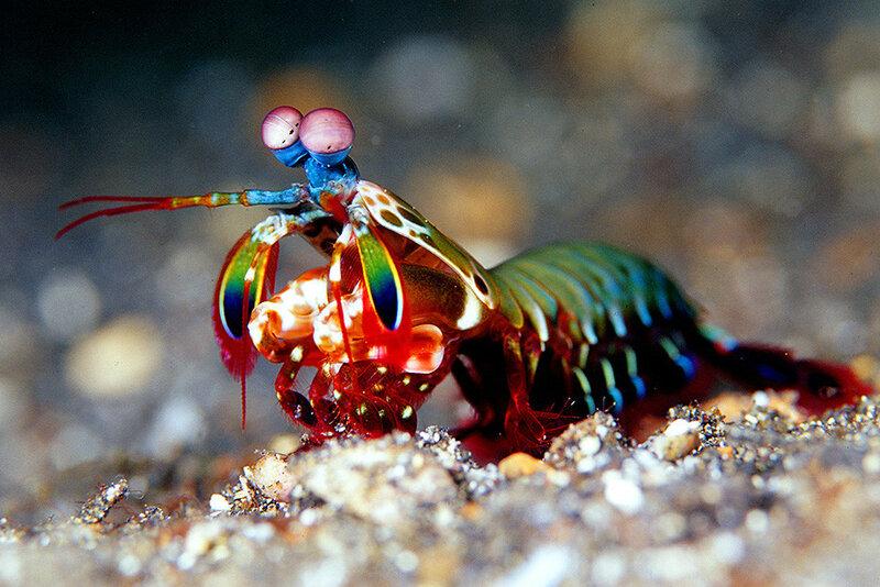 BadAss Animals Photo 16 Mantis Shrimp shutterstock_50457778.tif