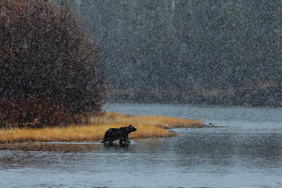 31. Медвежья лапа.