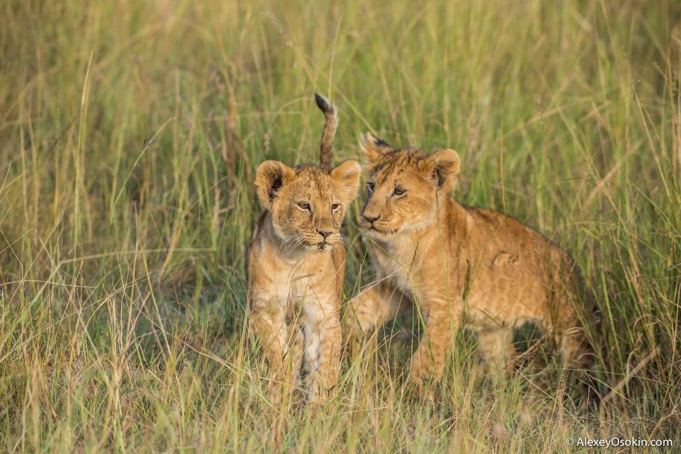 19. Благодаря своим размерам и силе взрослый лев практически не имеет естественных врагов. Одна