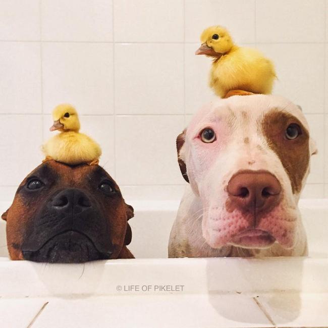 Две собаки заботятся обутятах, как очленах семьи