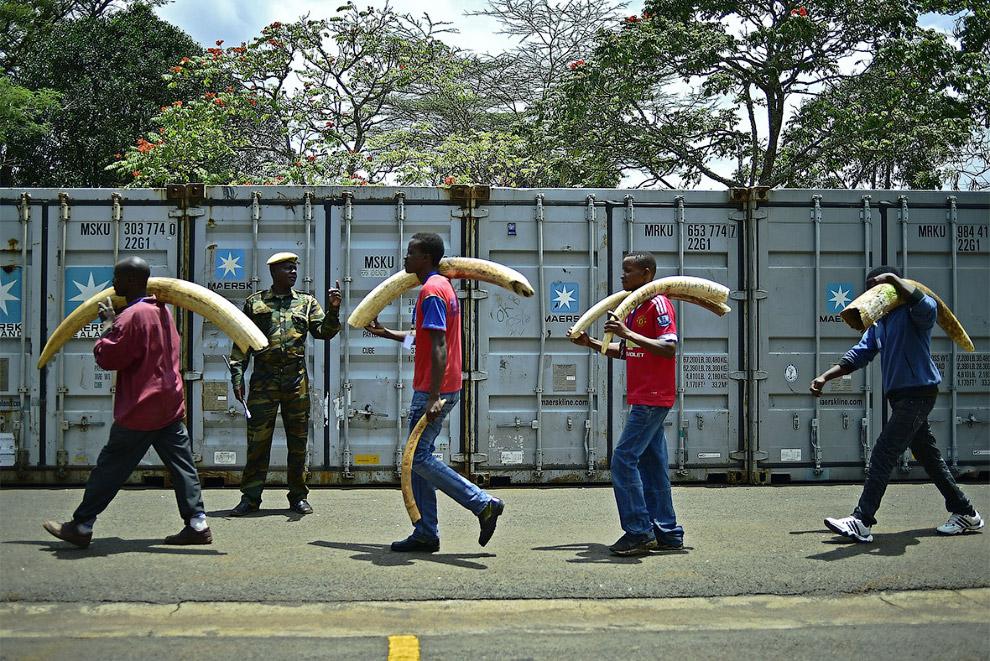 Склад конфискованных слоновьих бивней.