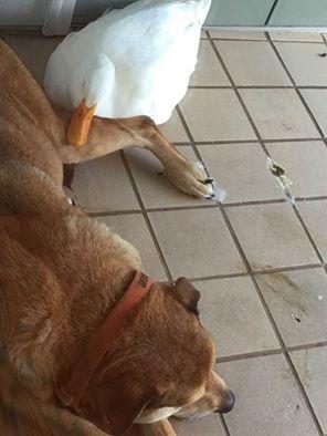 Сложно сказать, что именно побудило утку прийти в дом мисс Литтон и спасти тоскующего пса от печали.