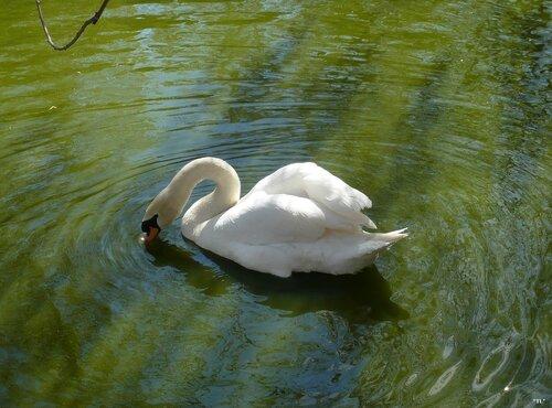 Ах, белый лебедь на пруду....