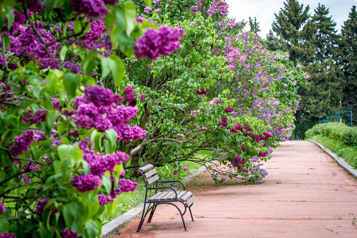 сирень, Ботанический сад МГУ