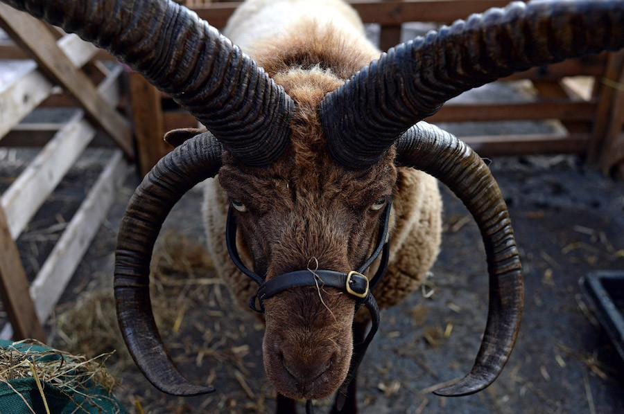 Необычная порода овец, обитающая непосредственно на острове Мэн. Её также называют Лохтайн. Узнать п