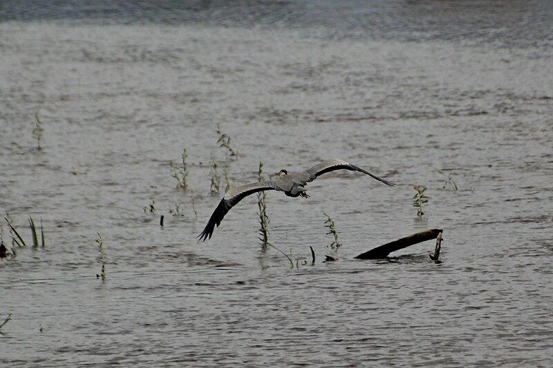 Вспугнутая серая цапля (Ardea cinerea) расправив крылья летит над водой реки Вятки