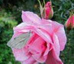 Бабочка Белянка на розе