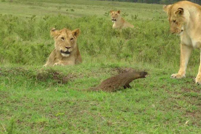 Видео. Бой мангуста с четырьмя львицами