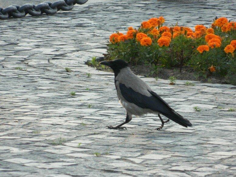 Ворона шагает по делам