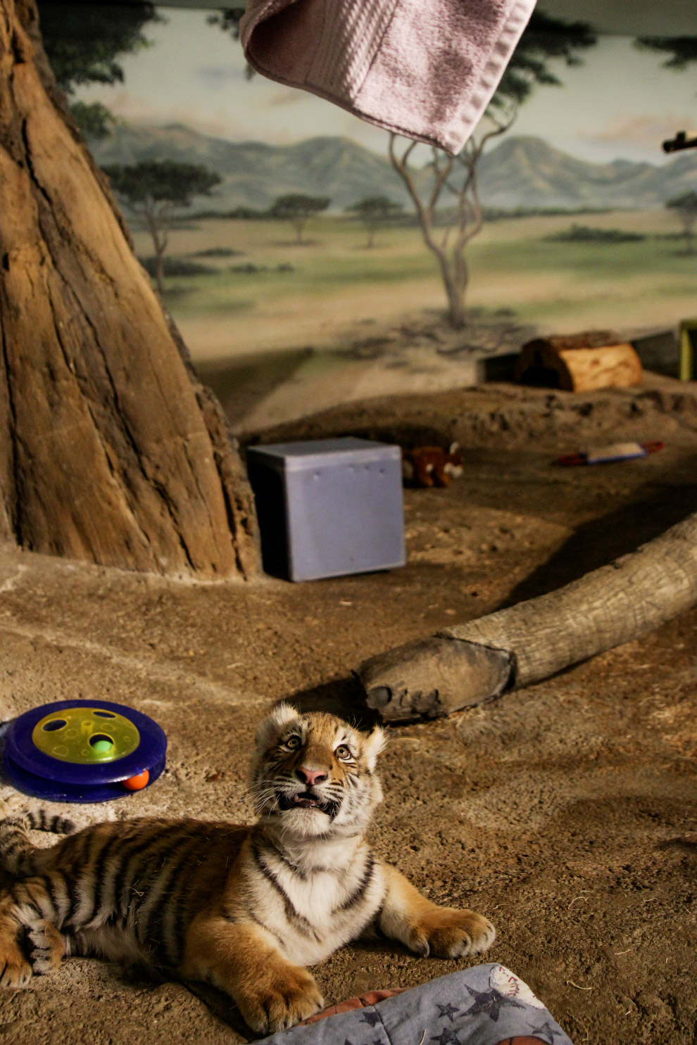 Ой, что делается! Собка выкармливает 4 новорожденных тигрят в центре защиты диких животных пров