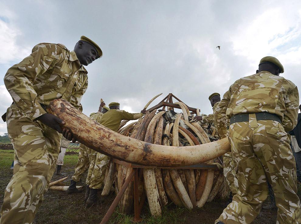 В основном браконьерская слоновая кость идет в Китай, где за пару костяных палочек для еды можно выр