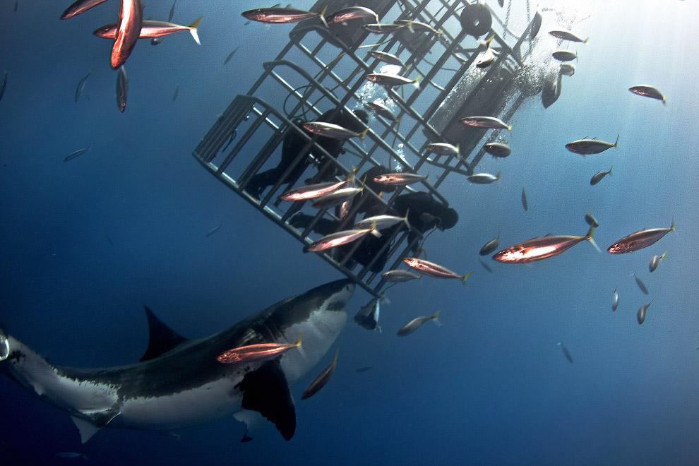 5. Белые акулы стоят на вершине пищевой пирамиды. У них практически нет врагов в природе. Для н