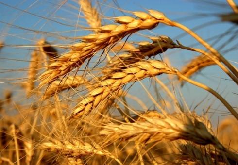 В Российской Федерации спрогнозировали рекордный урожай зерна современ СССР