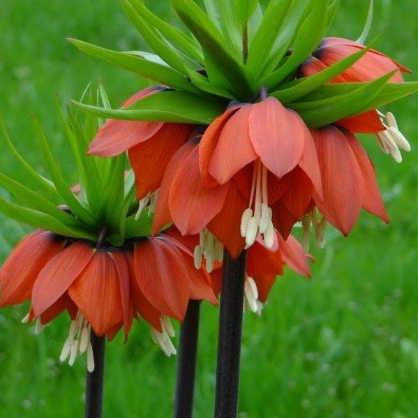 Цветы рябчик императорский посадка и уход