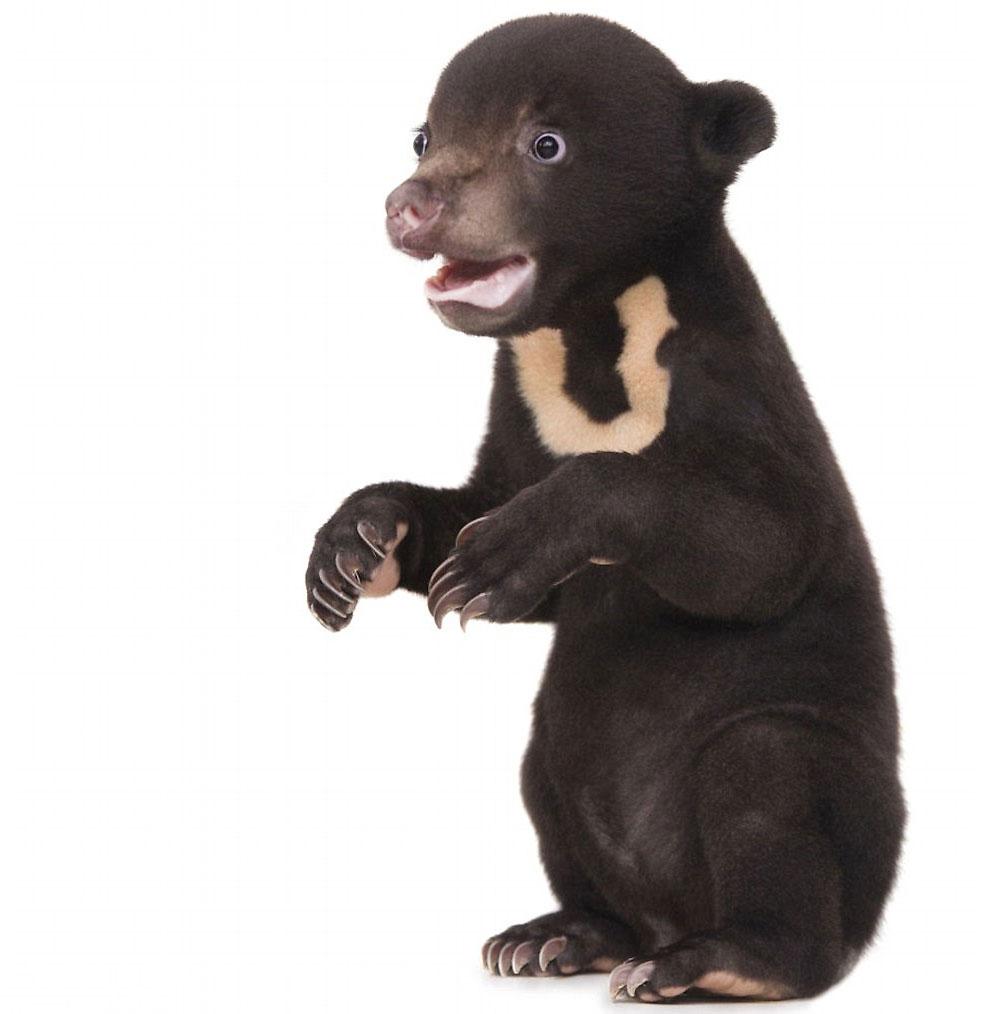 Алекс сфотографировал Айру во время визита в приют для медведей Free the Bears («Свободу медведям»)