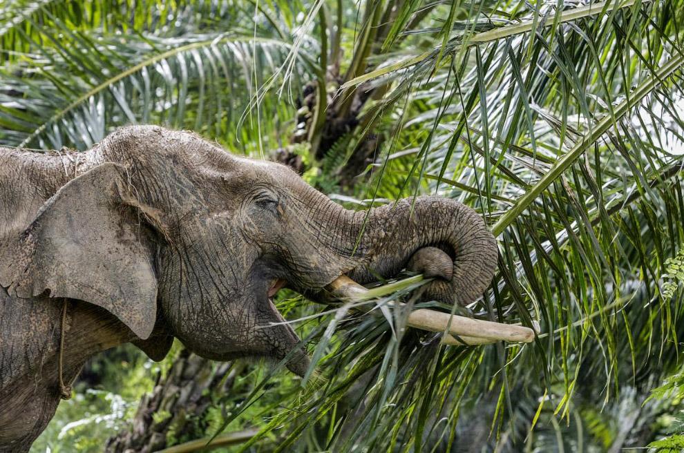 13. На пальмовых плантациях есть вот такие слоновьи патрули для охраны территории от диких слон