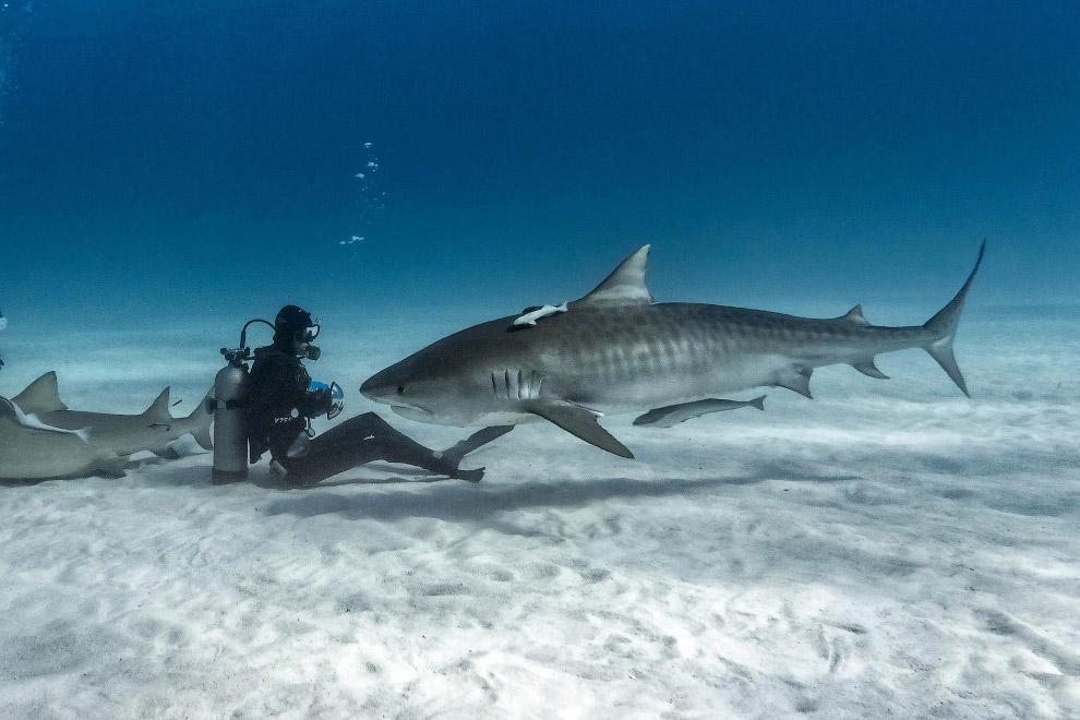 4. Кстати, американцы даже как-то посчитали, что риск человека подвергнуться нападению акулы со