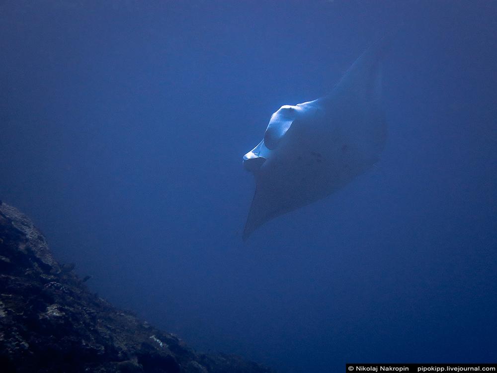 Морские дьяволы рядом с островом Нуса Пенида