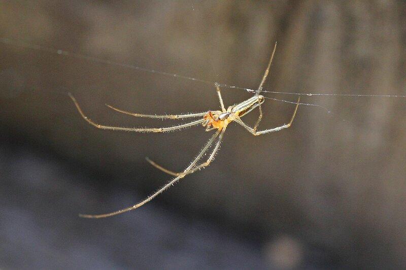 Самец паука Тетрагната сосновая (Tetragnatha pinicola, Паук вытянутый серебряный, Silver stretch-spider) на паутине