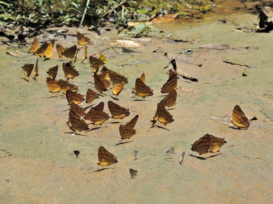 Бабочки на грязи