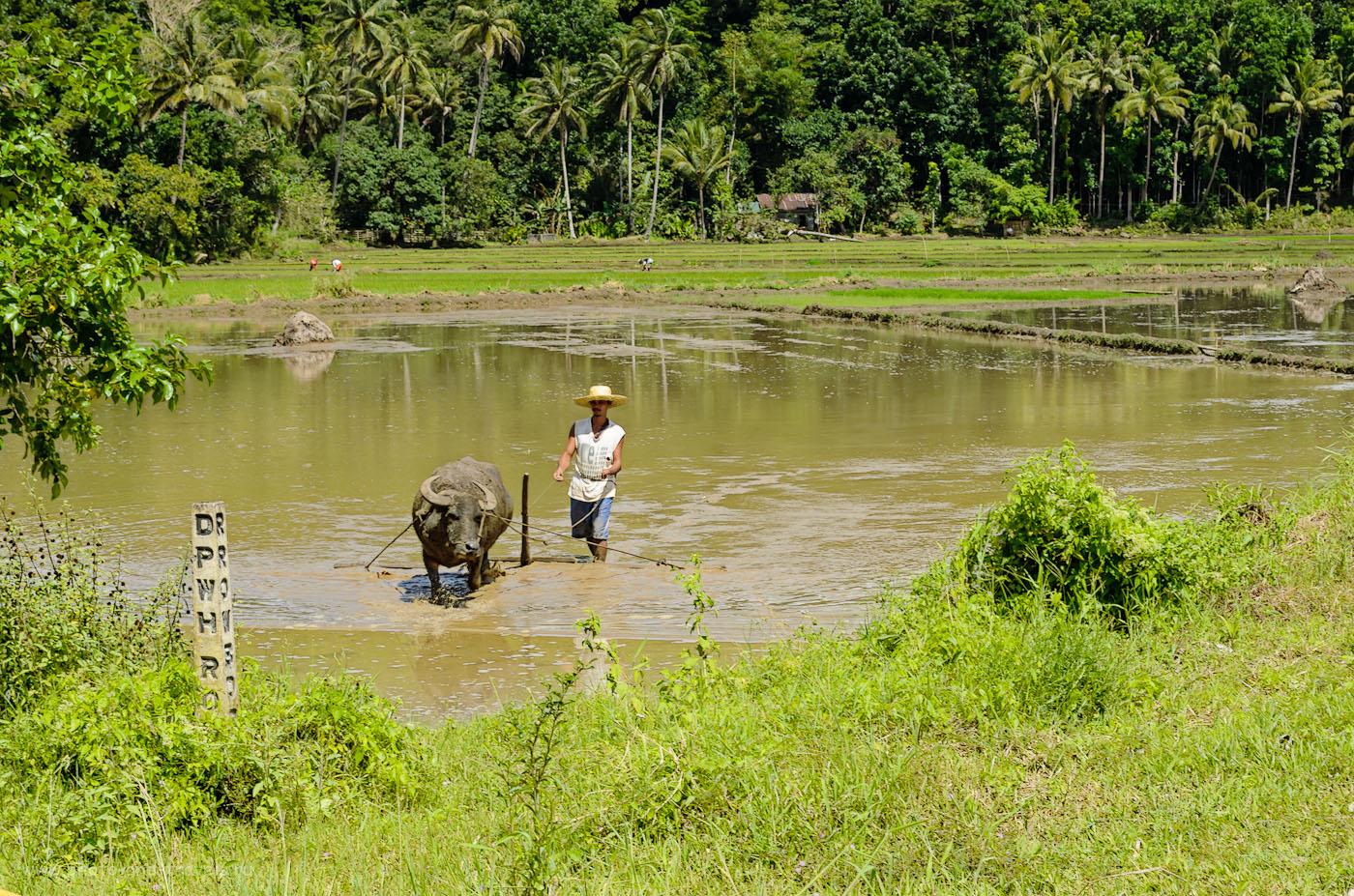 Фото 5. Филиппинский крестьянин и его буйвол на рисовом поле. Как в отпуске снять интересный фотоотчет. 1/125, 11.0, 55, 52.