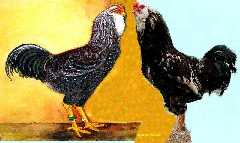 Орловская порода, Петухи,сравнение