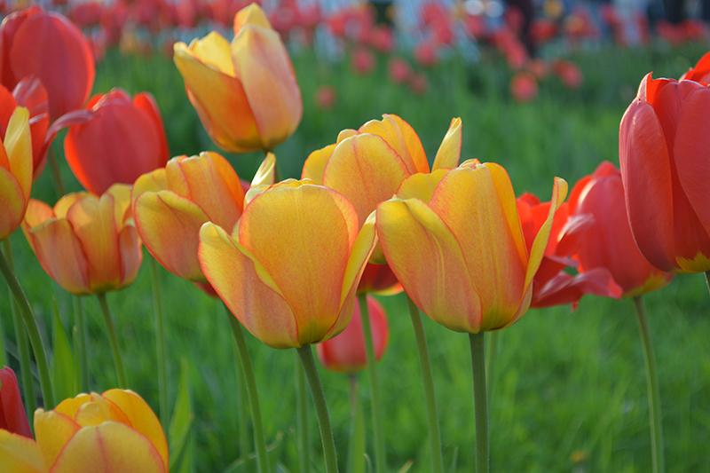 майские тюльпаны.jpg