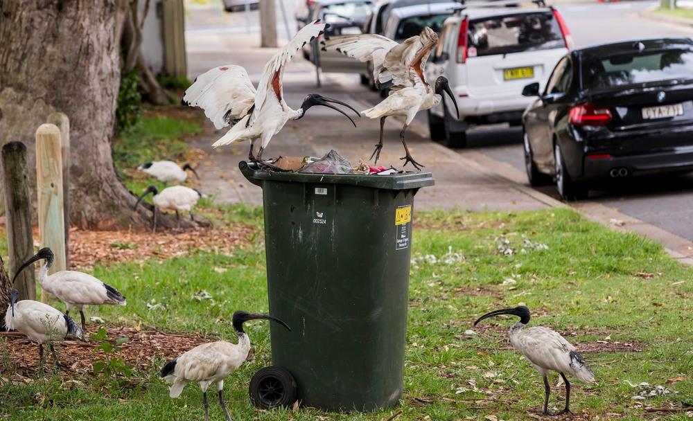 Ибисы в городах Австралии