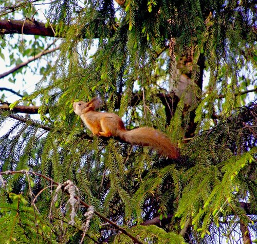 Белко на дереве