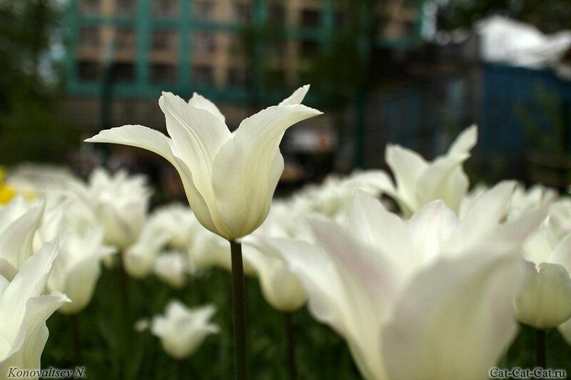 тюльпан Ballade White