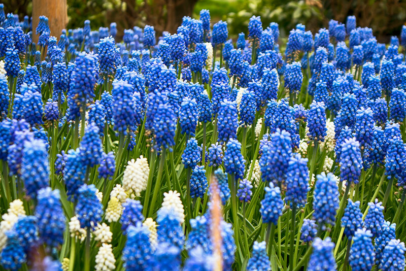 spring Muscari in the botanical garden in spring