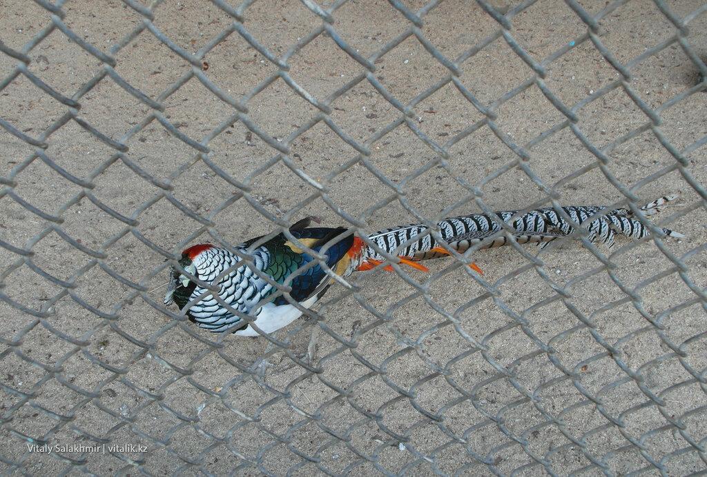 Алмазный фазан, зоопарк Шымкента